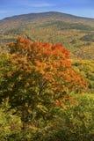 Φωτεινός κόκκινος σφένδαμνος στη βουνοπλαγιά που αγνοεί τη σειρά σάντουιτς, νέο ζαμπόν Στοκ Φωτογραφία
