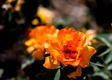 Φωτεινός πορτοκαλής αυξήθηκε άνθιση στοκ φωτογραφία με δικαίωμα ελεύθερης χρήσης