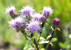 Φωτεινός πορφυρός κάρδος λουλουδιών, κινηματογράφηση σε πρώτο πλάνο κάρδων Στοκ φωτογραφία με δικαίωμα ελεύθερης χρήσης