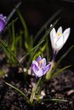 Φωτεινός πορφυρός κρόκος κάτω από τον ήλιο Στοκ φωτογραφίες με δικαίωμα ελεύθερης χρήσης