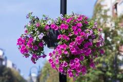Φωτεινός σηματοδότης με τα ζωηρόχρωμα κρεμώντας καλάθια λουλουδιών πετουνιών Στοκ εικόνα με δικαίωμα ελεύθερης χρήσης