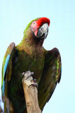 φωτεινός χρωματισμένος macaw &sigm Στοκ Φωτογραφίες