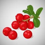 Φωτεινός juicy lingonberry στο γκρίζο υπόβαθρο Γλυκός εύγευστος για το σχέδιό σας στο ύφος κινούμενων σχεδίων επίσης corel σύρετε Στοκ εικόνες με δικαίωμα ελεύθερης χρήσης