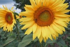 Φωτεινό άνθος των ηλίανθων στον τομέα Καλοκαίρι Μια ηλιόλουστη ημέρα Στοκ Φωτογραφίες