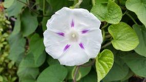 Φωτεινό άσπρο και πορφυρό λουλούδι ipoema Στοκ φωτογραφία με δικαίωμα ελεύθερης χρήσης