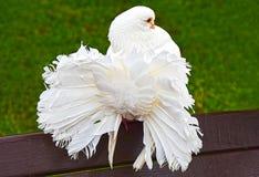 Φωτεινό άσπρο περιστέρι του peacock Στοκ Φωτογραφίες