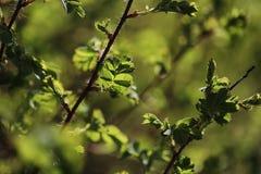φωτεινό ανθίζοντας πράσινο δέντρο άνοιξη φύσης κλάδων Φύλλα και οι Μπους με τα πρώτα πράσινα φύλλα μέσα Στοκ Φωτογραφία