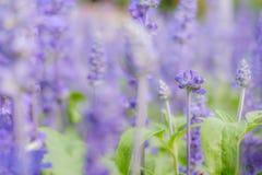 Φωτεινό ασυνήθιστο lavender στοκ φωτογραφίες με δικαίωμα ελεύθερης χρήσης
