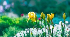 Φωτεινό διαποτισμένο θολωμένο floral υπόβαθρο Κρεβάτι λουλουδιών με τις ανθίζοντας κίτρινες ίριδες κήπων Θερινό floral ζωηρόχρωμο Στοκ Εικόνα