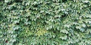 Φωτεινό θερινό floral υπόβαθρο Τοίχος των πράσινων φύλλων των διακοσμητικών κοριτσίστικων σταφυλιών στοκ εικόνες