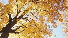 Φωτεινό κίτρινο δέντρο, κατώτατη άποψη απόθεμα βίντεο