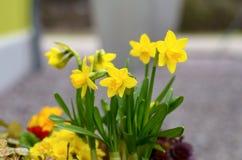 Φωτεινό κίτρινο ελατήριο daffodils ή νάρκισσοι στοκ φωτογραφίες