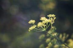 Φωτεινό κίτρινο λουλούδι άνηθου με το σκοτεινό υπόβαθρο Στοκ φωτογραφία με δικαίωμα ελεύθερης χρήσης