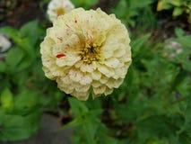 Φωτεινό κίτρινο λουλούδι με τα specs του κοκκίνου Στοκ Εικόνες