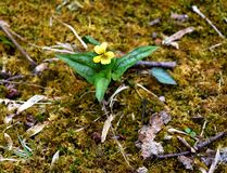 Φωτεινό κίτρινο λουλούδι μιας halbred-με φύλλα βιολέτας που προκύπτει σε ένα δάσος άνοιξη Στοκ εικόνες με δικαίωμα ελεύθερης χρήσης