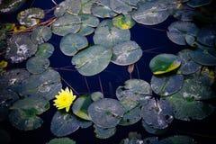 Φωτεινό κίτρινο λουλούδι κρίνων νερού με τα πράσινα φύλλα Στοκ εικόνες με δικαίωμα ελεύθερης χρήσης
