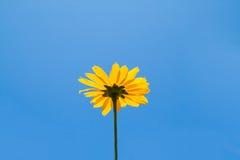 Φωτεινό κίτρινο λουλούδι μαργαριτών στο υπόβαθρο μπλε ουρανού Στοκ Εικόνες