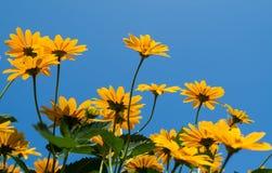 Φωτεινό κίτρινο λουλούδι μαργαριτών στο υπόβαθρο μπλε ουρανού Στοκ Φωτογραφία