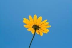 Φωτεινό κίτρινο λουλούδι μαργαριτών στο υπόβαθρο μπλε ουρανού Στοκ εικόνες με δικαίωμα ελεύθερης χρήσης