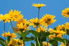 Φωτεινό κίτρινο λουλούδι μαργαριτών στο υπόβαθρο μπλε ουρανού Στοκ φωτογραφία με δικαίωμα ελεύθερης χρήσης