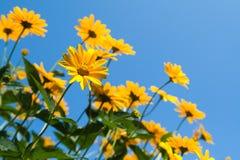 Φωτεινό κίτρινο λουλούδι μαργαριτών στο υπόβαθρο μπλε ουρανού Στοκ Εικόνα