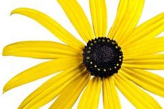 Φωτεινό κίτρινο λουλούδι μαύρος-eyed-Susan Στοκ εικόνες με δικαίωμα ελεύθερης χρήσης