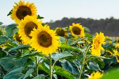 Φωτεινό κίτρινο, πορτοκαλί λουλούδι ηλίανθων στον τομέα ηλίανθων Όμορφο αγροτικό τοπίο του τομέα ηλίανθων το ηλιόλουστο καλοκαίρι Στοκ φωτογραφία με δικαίωμα ελεύθερης χρήσης