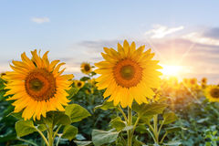 Φωτεινό κίτρινο, πορτοκαλί λουλούδι ηλίανθων στον τομέα ηλίανθων Στοκ Εικόνες