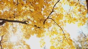 Φωτεινό κίτρινο φύλλωμα σε έναν κλάδο δέντρων απόθεμα βίντεο