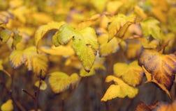 Φωτεινό κίτρινο φύλλωμα φθινοπώρου Fastive κίτρινο υπόβαθρο φθινοπώρου Στοκ Φωτογραφίες