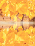 Φωτεινό κίτρινο φύλλωμα, θερμό φθινόπωρο Στοκ Εικόνα