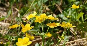 Φωτεινό κίτρινο caltha λουλουδιών φιλμ μικρού μήκους