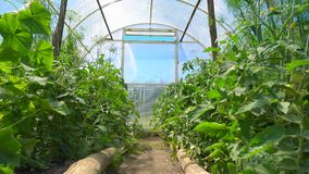 Φωτεινό και ευρύχωρο θερμοκήπιο στην ηλιόλουστη ημέρα Τα σπορόφυτα ντοματών αυξάνονται στους όρους θερμοκηπίων απόθεμα βίντεο