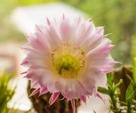 Φωτεινό και ηλιόλουστο λουλούδι κάκτων Στοκ φωτογραφίες με δικαίωμα ελεύθερης χρήσης