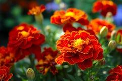 φωτεινό καφετί marigold λουλο&ups Στοκ Εικόνα