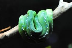 φωτεινό κουλουριασμένο πράσινο δέντρο φιδιών Στοκ Εικόνες