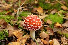 Φωτεινό κόκκινο δηλητηριώδες μανιτάρι Στοκ εικόνα με δικαίωμα ελεύθερης χρήσης
