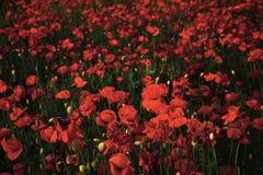 Φωτεινό κόκκινο λουλούδι παπαρουνών στοκ φωτογραφία με δικαίωμα ελεύθερης χρήσης