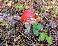 Φωτεινό κόκκινο amanita μεταξύ των πεσμένων φύλλων και της χλόης Στοκ Εικόνες