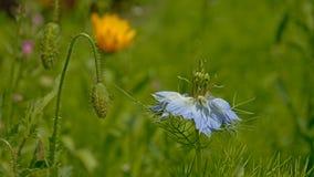 Φωτεινό μπλε λουλούδι αγάπη--α-υδρονέφωσης - damascena nigella Στοκ Φωτογραφίες