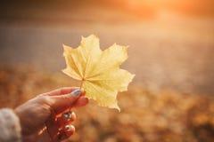Φωτεινό νέο μαύρο φύλλο φθινοπώρου τρίχας Φύλλα φθινοπώρου σε ένα πάρκο Στοκ Φωτογραφίες
