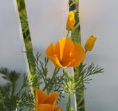Φωτεινό λουλούδι της καλιφορνέζικης παπαρούνας την άνοιξη Στοκ Φωτογραφία