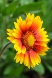 Φωτεινό λουλούδι Gaillardia Στοκ Φωτογραφίες