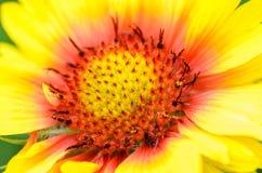 Φωτεινό λουλούδι Gaillardia Στοκ φωτογραφία με δικαίωμα ελεύθερης χρήσης