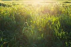φωτεινό πεδίο πράσινο πέρα &alph πράσινο λιβάδι Στοκ Εικόνες