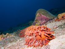 Φωτεινό πορτοκαλί αγγούρι θάλασσας ανανά στοκ φωτογραφία