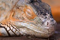 Φωτεινό πορτοκαλί πράσινο Iguana Στοκ φωτογραφίες με δικαίωμα ελεύθερης χρήσης