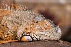 Φωτεινό πορτοκαλί πράσινο Iguana Στοκ φωτογραφία με δικαίωμα ελεύθερης χρήσης