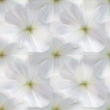 Φωτεινό πορφυρό έμβλημα με Mallow τα λουλούδια για τις κάρτες δώρων Στοκ Φωτογραφίες