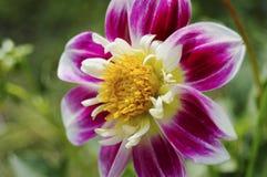 Φωτεινό πορφυρό λουλούδι πέρα από το θολωμένο υπόβαθρο στοκ εικόνα